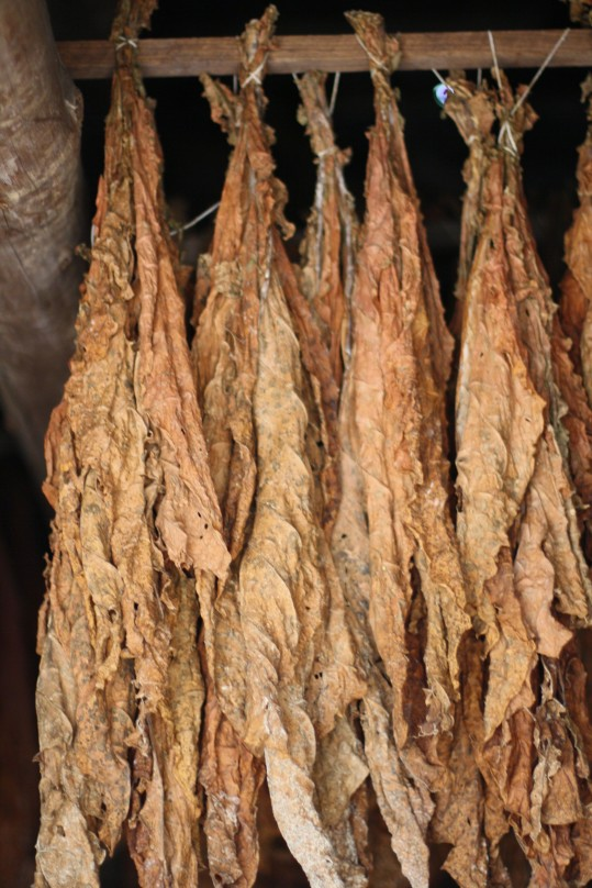 Dried tobacco leaves. Cool!